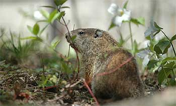 [Campus groundhog, pictured in 2005]