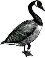 [Drawing of goose]