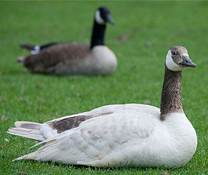 [Albino goose and an ordinary one]
