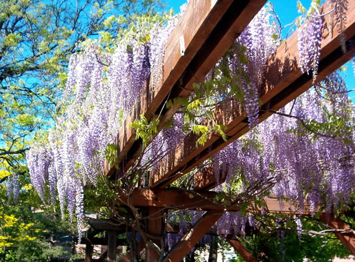 wisteria on pergola, Peter Russell Rock Garden, May 29/09