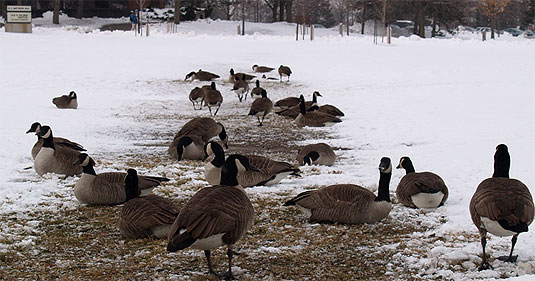 [Geese against melting snow]