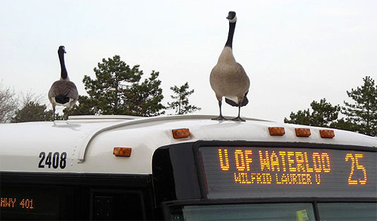 [Geese standing on bus roof]