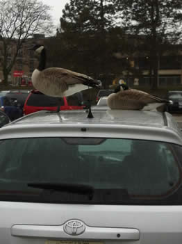Geese in Lot A.