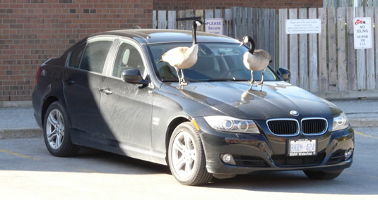 Two Canada geese stand on the hood of a BMW in Environment 2.