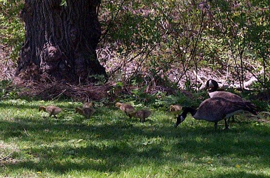 Geese and goslings graze along the creek.